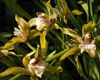 goldenorchids