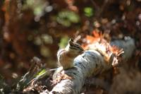 chipmunk at ranier