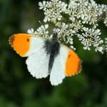 """BUTTERFLY-IRELAND-DUBLIN-ORANGE TIP-MALE 1"" by willifindunow2"
