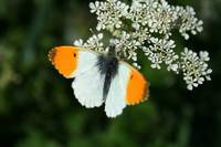 BUTTERFLY-IRELAND-DUBLIN-ORANGE TIP-MALE 1