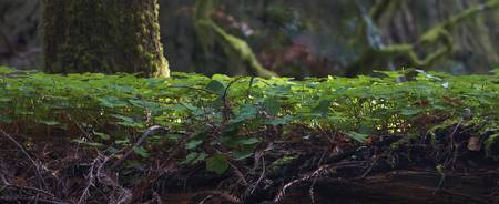 Redwood Sorrel Panoramic