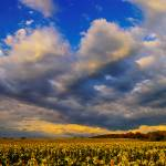 """Sunflowers field in the storm light - Provence"" by frenchlandscapes"