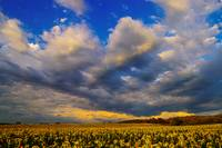 Sunflowers field in the storm light - Provence