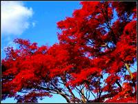 Red Tree, Blue Sky
