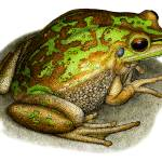 """""""Green and Golden Bell Frog"""" by inkart"""