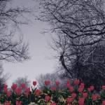 """""""TULIPS GROW"""" by mangoskinny"""