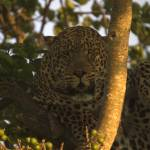 """""""lazy leopard"""" by DezineZone"""