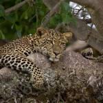 """""""leopard 10"""" by DezineZone"""