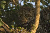 leopard in fig tree