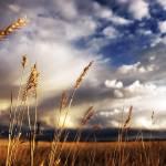 """""""Golden grass 2"""" by Ryan_Pennington"""