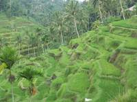 Terraced Rice Paddies near Ubud