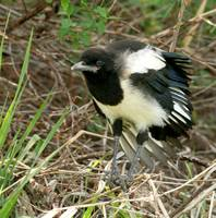 Magpie throws a tantrum