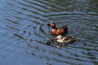 Triumphant Cinnamon Teal Duck