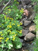 Buttercups by the stream