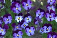 Purple violas