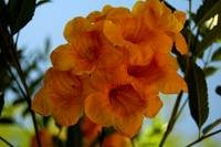 Yellow Tabebuia Trumpet Tree Flowers #2