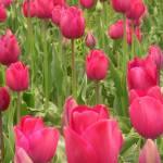 """""""Tulips VII"""" by MandyMcKenna"""