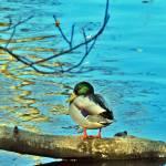 """Duck"" by BobW"