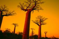 Sunset on the baobab trees