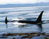 Orca Whales in the San Juan Islands Wa