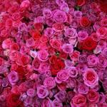"""""""Pink roses"""" by elsief1"""