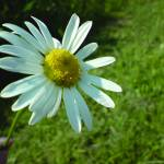 """smiling daisy"" by clairebrocklesby"