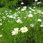 """when the sun is out the daisys play"" by clairebrocklesby"