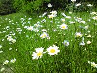 when the sun is out the daisys play