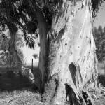 """Eucalyptus"" by GregWoodhouse"