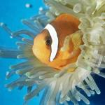 """Tomato Clownfish Tropical Fish Pet"" by kphotos"