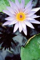 mb_WaterLillyCloseup-02
