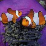 """Nemo and Family - clown15"" by markstrickland"