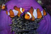 Nemo and Family - clown15