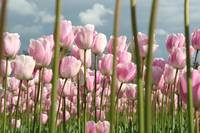 Light pink tulips
