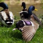 """""""Happy Ducks"""" by Onyx23"""
