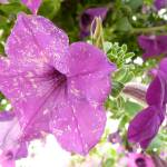 """the coolest purple flowers"" by LoraxLady"
