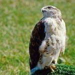 """""""Ferruginous Hawk"""" by kphotos"""