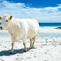 """a cow  on the beach  in ireland"" by sesameellis"
