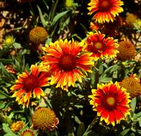Red & Yellow Daisy #2