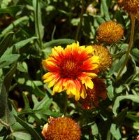 Red & Yellow Daisy #1