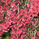 """""""Tea Tree Blossoms"""" by frankjadorna"""
