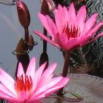 """Pink Water Lilies in Luang Prang"" by frankjadorna"