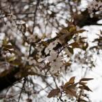 """Flowering tree at UW"" by scgotts"