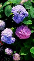 Multi-Colored Hydrangea Bush