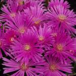 """Violet Cactus Flowers"" by IMAX007"