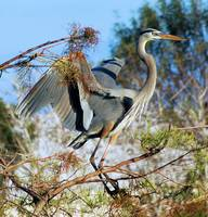 Nesting Great Blue Heron