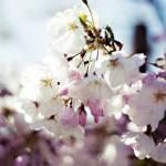 """Sakura"" by mariceltheresa"