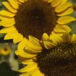 """Sunflowers"" by Dali"