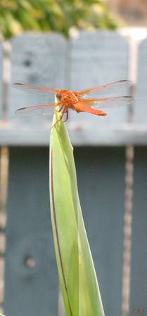 Orange Crush - Dragonfly
