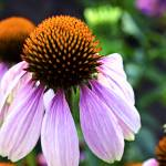 """Echinacea Purpurea (Cone Flower)"" by johncorney"